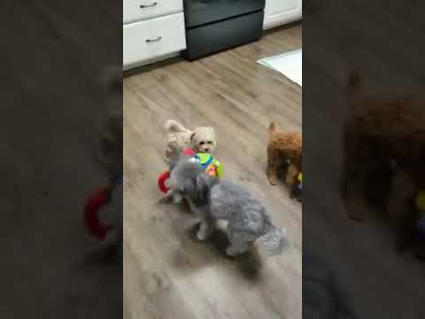 Awesome maltipoo Puppies