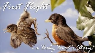 First Flight - a Baby Bird's Story!