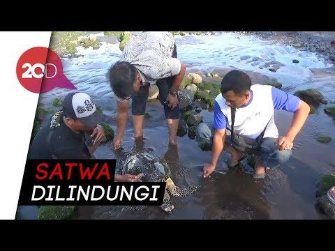 Seekor Penyu Sisik Ditemukan Mati di Pantai Cacalan Banyuwangi