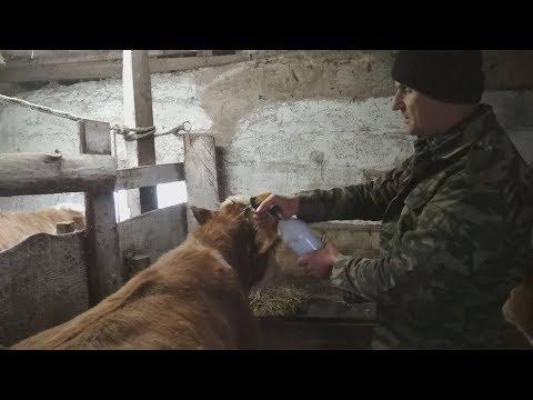 Обработка быков от чесотки, власоедов и обычного клеща.