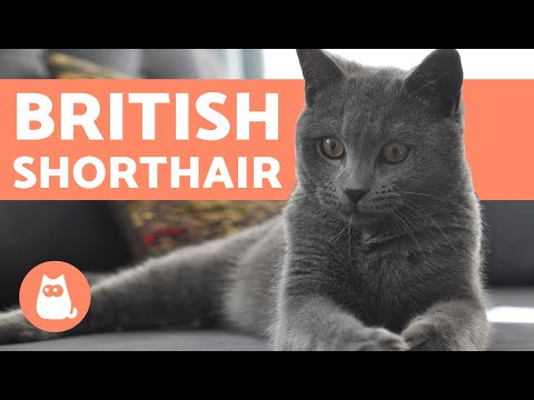 It Took Studying 25782500 Kids To Begin >> British Shorthair Getting A Brush Utopia You Are Standing In It