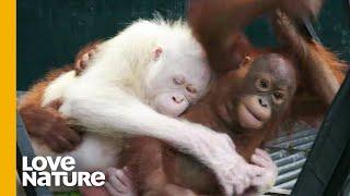 The World's Only Albino Orangutan | Orangutan Jungle School | Love Nature