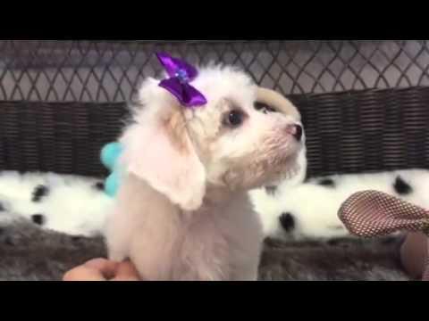 Cotton ball, Hava-Chon puppy