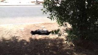 Dog poisoned and suffering