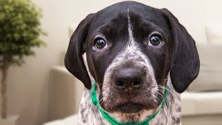 German Shorthaired Pointer Videos Compilation