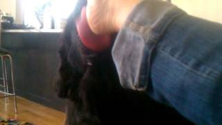 Ben the Newfoundland dog licks my foot.