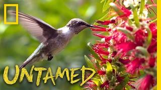 Hummingbirds: Nature's Gladiators - Ep. 7   Untamed with Filipe DeAndrade