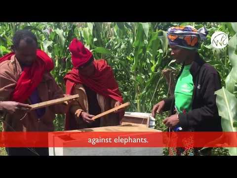 Bees Saving Elephants in Tanzania