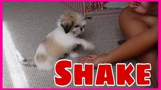 How to Teach your Puppy to SHAKE HANDS   Shih Tzu Puppy   2 Months Old