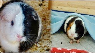 Guinea Pig Fleece Liner Bedding vs Traditional Bedding | Whats best for your cage?