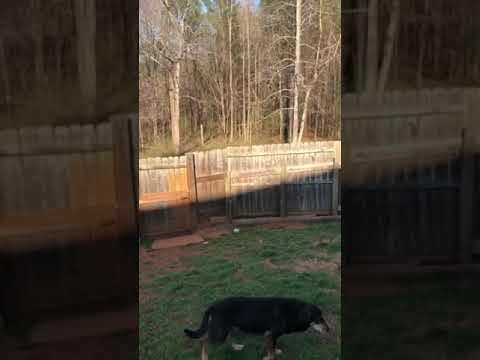 Teddy PENDING, an adopted Shepherd & Collie Mix in Chester, SC_image-1
