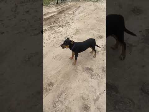 Trixie, an adopted Doberman Pinscher Mix in Oakland Gardens, NY_image-1
