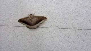 preview picture of video 'Huge brown moth trapped in the toilet near Loei'