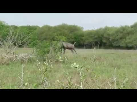Nilgai Fight (Part 1)