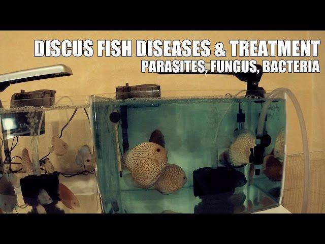 DISCUS FISH DISEASES - PARASITES, FUNGUS, BACTERIA & TREATMENT