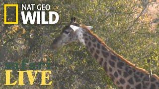 Safari Live - Day 175 | Nat Geo Wild