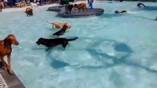 Смотреть онлайн Собаки толпой резвятся в бассейне