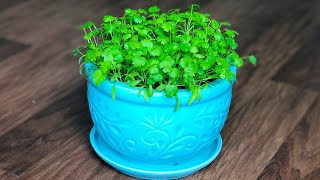 How to Grow Coriander in a container/pot at home | How to grow Cilantro indoors | Kitchen gardening