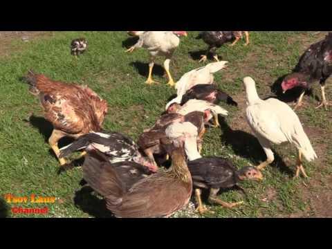 Hmong American's Chicken Farm 2017