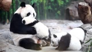 Panda Mom Reunites With Triplet Cubs