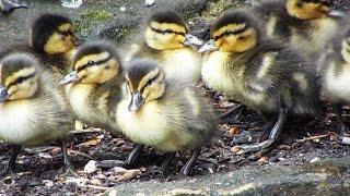 Leyland Ducklings