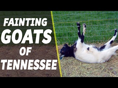 , title : 'Fainting Goats of Tennessee