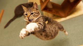 Прыгающие кошки