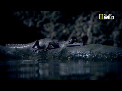 Maman gavial veille pendant 6 mois sur ses petits