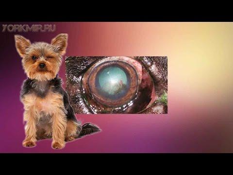 Кератит у собак | Признаки | Виды | Лечение.