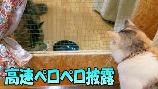 三毛猫姉さんに高速ペロペロを披露するボス猫   Kholo.pk