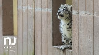 Endangered cutie snow leopard cubs debut at NJ zoo