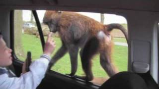 preview picture of video 'Monkey opens my son's door at Knowsley Safari Park. Very funny!'