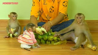 Brother Monkey Kako And Two Sister Luna And Nina Eating Banana Fruits