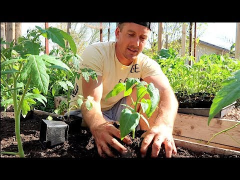 Tomato Growing Basics | Raised Bed Gardening