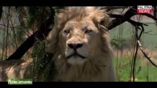 თეთრი ლომი - ლეგენდა, რომელიც რეალობად იქცა