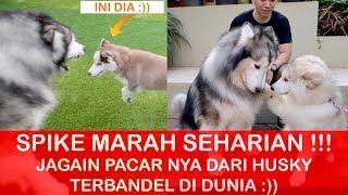 Video SPIKE MARAH  ada HUSKY bandel banget :D - VLOG MP3, 3GP, MP4, WEBM, AVI, FLV September 2019