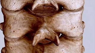 3d Facet Orientation  Cervical, Thoracic, Lumbar Spine #omm #comlex #wedabest