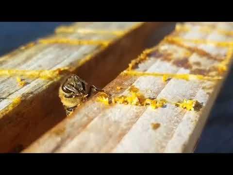 Пчеловодство. Как и где собирает пчела прополис при его нехватке.