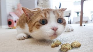 [Cat Live] Feed my cats with the Gall of Actinidia polygama and see their lovely reaction