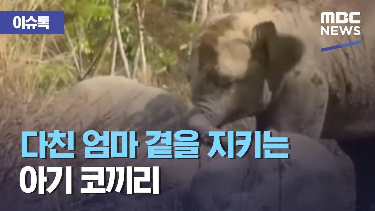 다친 엄마곁을 지키는 아기 코끼리