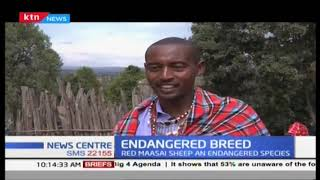 Endangered Breed: The Red Maasai sheep slowly disappearing