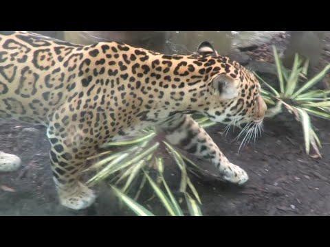 The jaguar that escaped last summer and killed nine animals is back on display at the Audubon Zoo in New Orleans, seven months after chewing its way through a steel mesh roof. (Feb. 5)