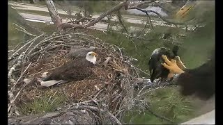 SWFL Eagles ~ Harriet Brings In A Duck!! Lessons In Defeathering For E14! 1.10.20