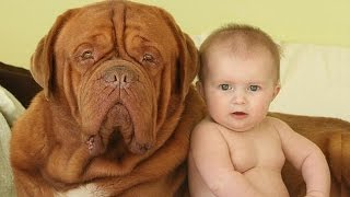 Dogue de Bordeaux And Baby A beginning of love  - Dog loves Baby Compilation