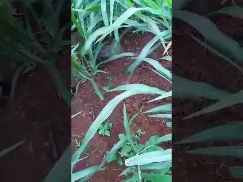 Mavuno em Bituruna/PR com 60 dias de plantio. Veja o tamanho da raiz... INCRÍVEL!!!
