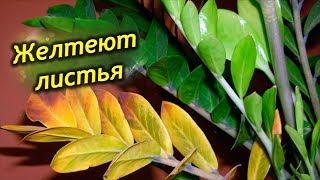 Почему желтеют листья у замиокулькаса?