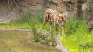 Male Tiger Sprays Pee To Mark His Territory