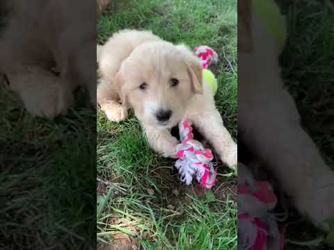 Zinnia is a happy little goldendoodle puppy