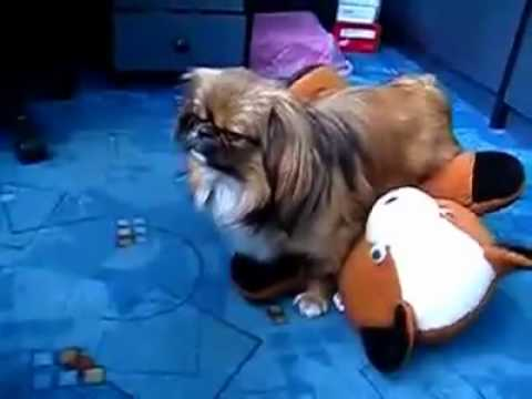 Dog Humps Stuffed Animal So Hard He Passes Out