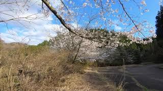 URUAV Flipo F95 GoPro Lite 八ヶ川ダム公園 FPV 桜空撮